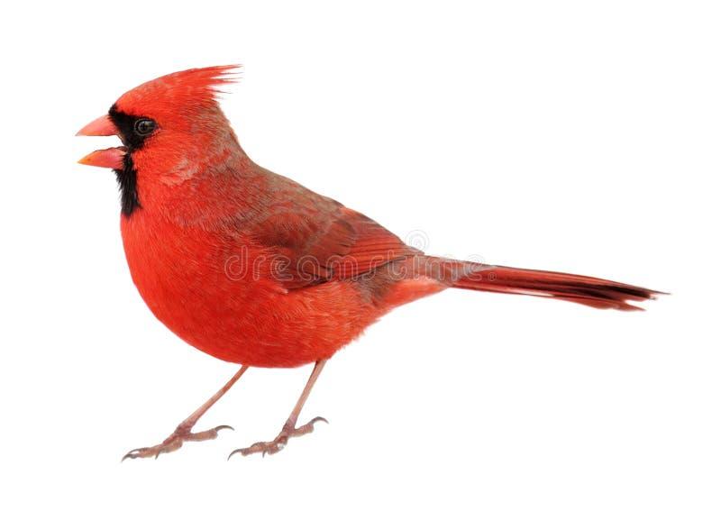 Northern Cardinal, Cardinalis cardinalis, Isolated. Male northern cardinal, cardinalis cardinalis, with its beak open isolated on white stock images