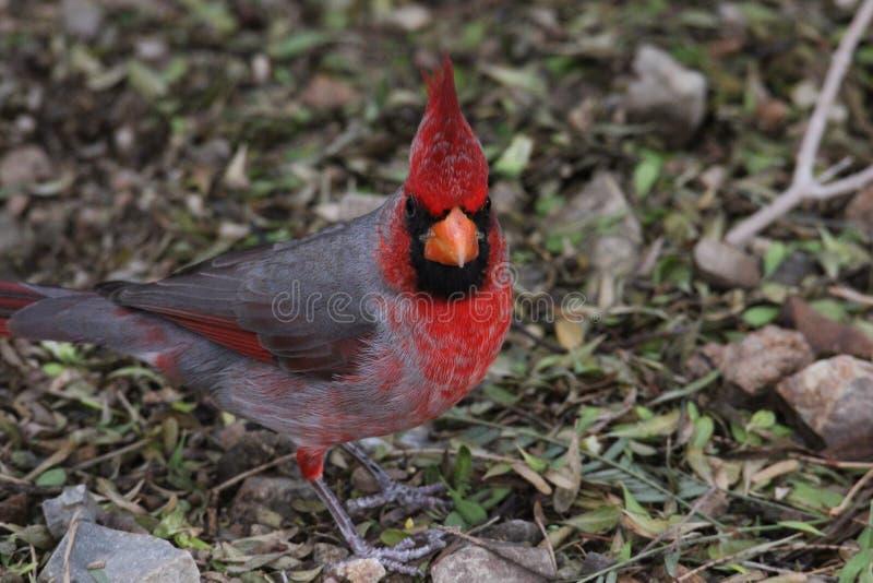 Northern cardinal Cardinalis cardinalis 2. A male northern cardinal Cardinalis cardinalis at a local zoo royalty free stock photo