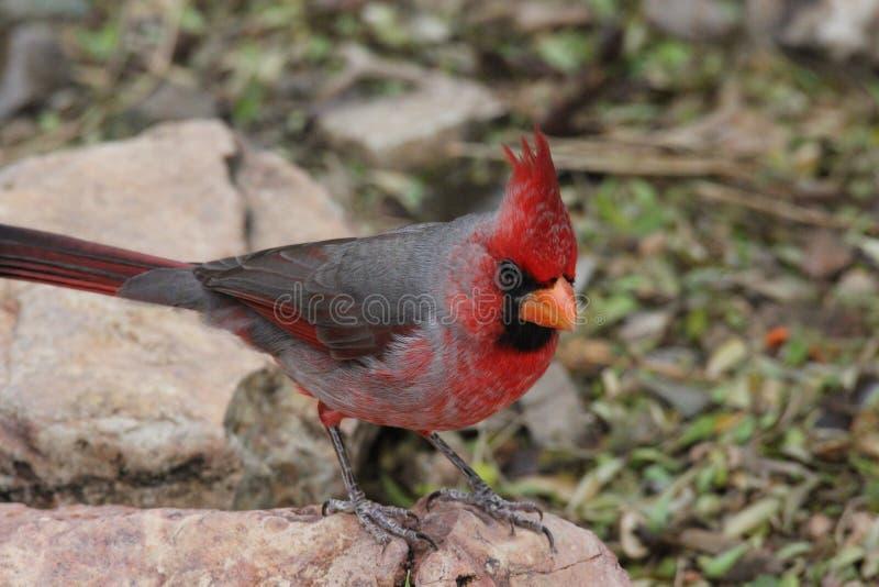 Northern cardinal Cardinalis cardinalis 1. A male northern cardinal Cardinalis cardinalis at a local zoo royalty free stock images