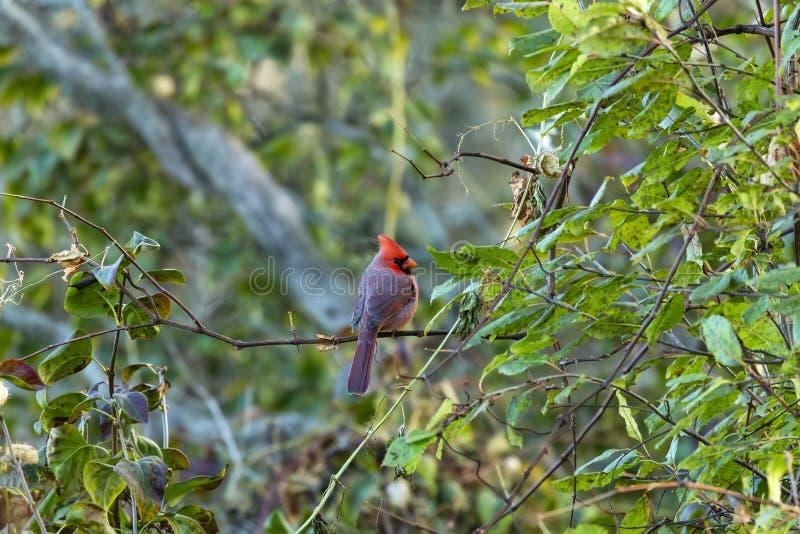 Male Northern cardinal - Cardinalis cardinalis. Northern cardinal - Cardinalis cardinalis perched on the branch tree.Evening autumn royalty free stock image