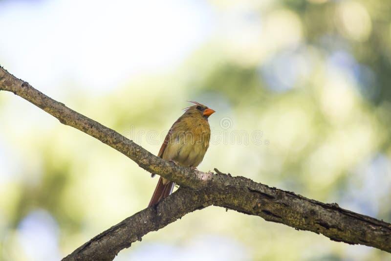 Northern Cardinal (Cardinalis cardinalis). Spotted outdoors in New York City royalty free stock image