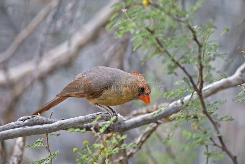 Northern Cardinal, Cardinalis cardinalis, in tree. A Northern Cardinal, Cardinalis cardinalis, in tree royalty free stock photos