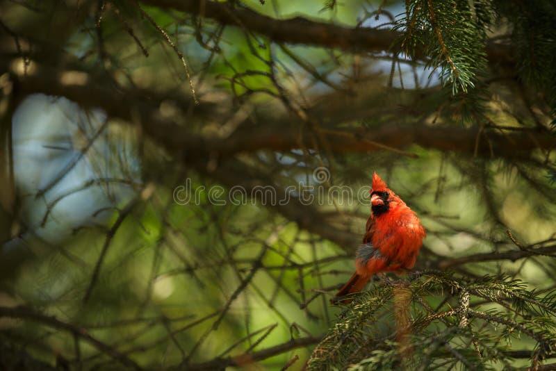Northern cardinal (Cardinalis cardinals). Colorful northern cardinal (Cardinalis cardinals royalty free stock images