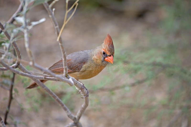 Northern Cardinal, Cardinalis cardinalis, perched. A Northern Cardinal, Cardinalis cardinalis, perched stock photo
