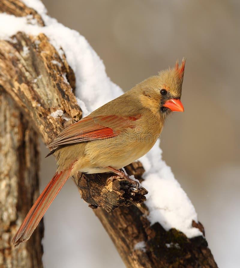 Northern Cardinal royalty free stock image