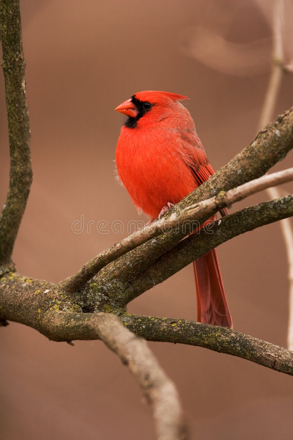 Free Northern Cardinal Male Royalty Free Stock Photography - 666297
