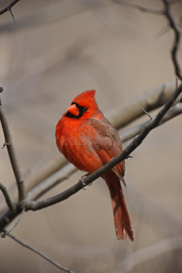 Free Northern Cardinal Male Stock Photography - 7455982