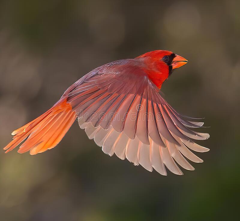 Free Northern Cardinal Male Is Shown In Mid-flight Royalty Free Stock Image - 211689406
