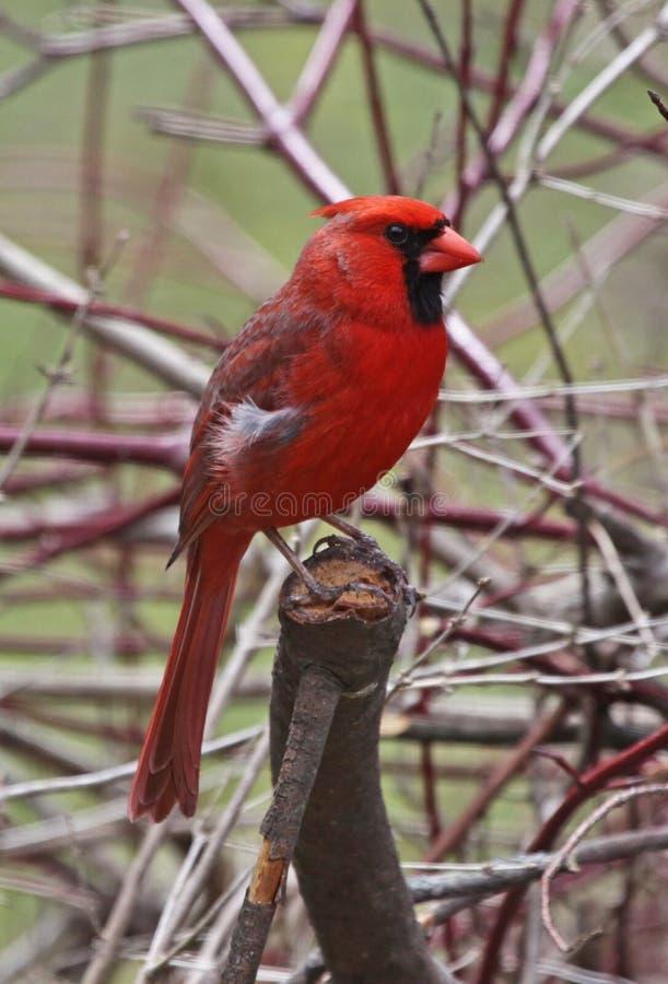 Free Northern Cardinal Profile Stock Photo - 25410090