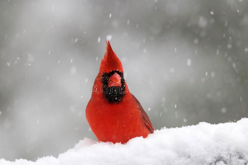 Northern Cardinal on a Snowy Day in Winter. A bright red male Northern Cardinal Cardinalis cardinalis in a winter snowstorm