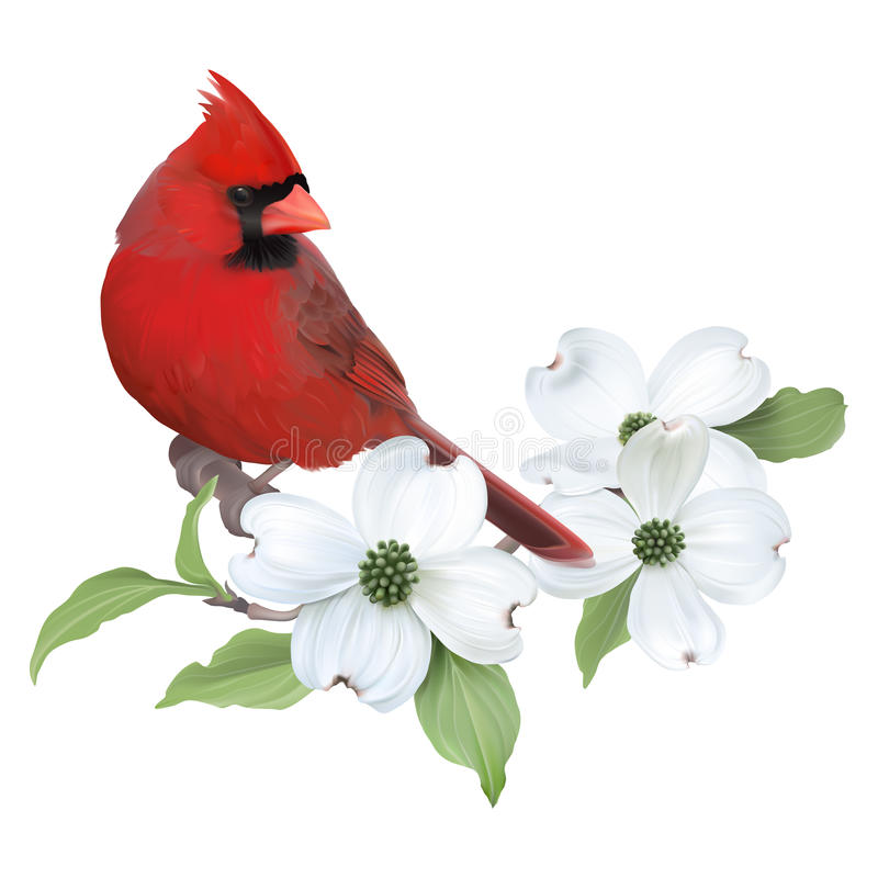 Northern Cardinal and White Dogwood. Hand drawn vector illustration of a male Northern Cardinal perched on a blooming Dogwood branch. Transparent background vector illustration