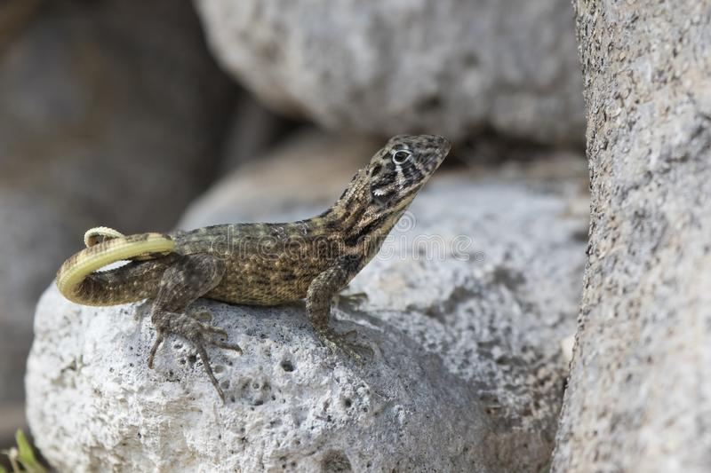 Northern curly-tailed lizard that sits among the rocks and looks. Ahead on a bright sunny day stock photo