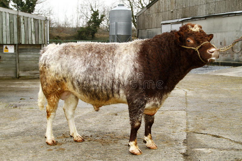 Northern Dairy Shorthorn royalty free stock photos
