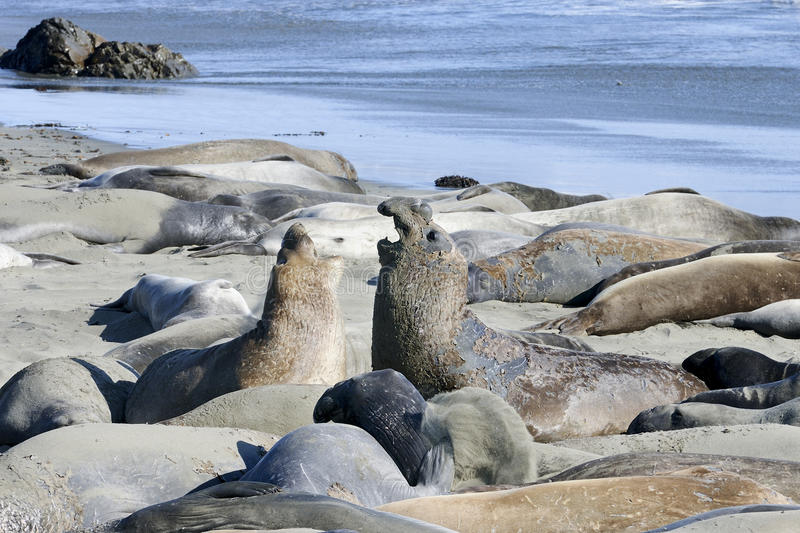Download Northern elephant seal stock photo. Image of heavy, nature - 20614810