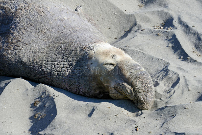 Northern elephant seal stock photos
