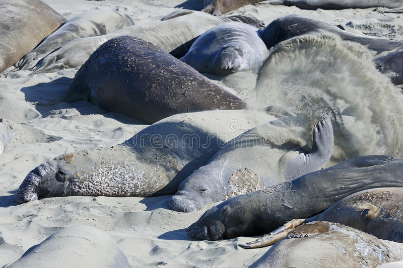Northern elephant seal stock photography