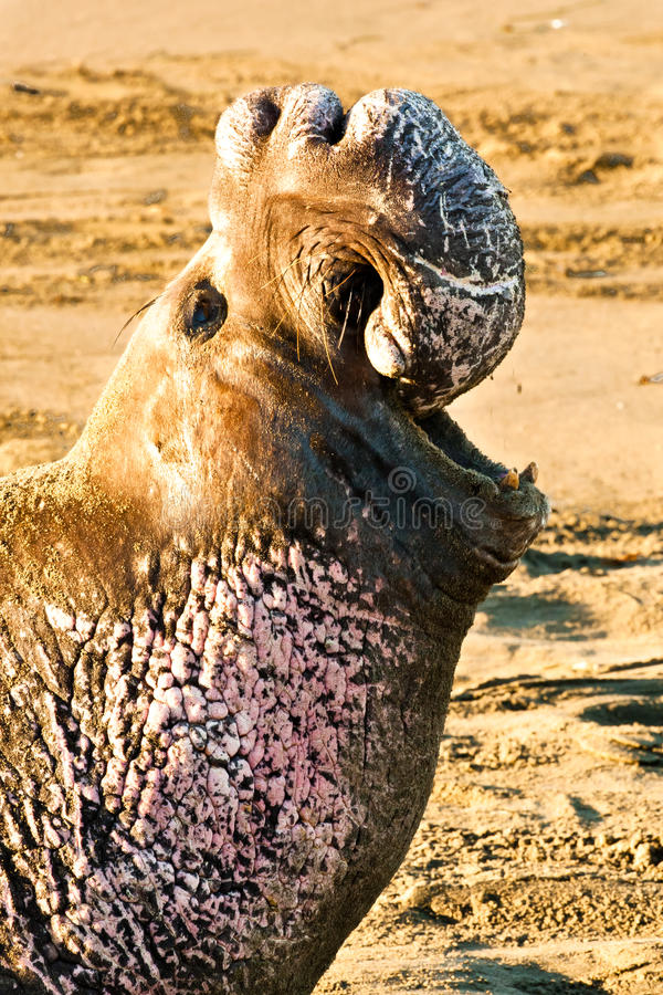 Free Northern Elephant Seal Royalty Free Stock Photo - 22667825