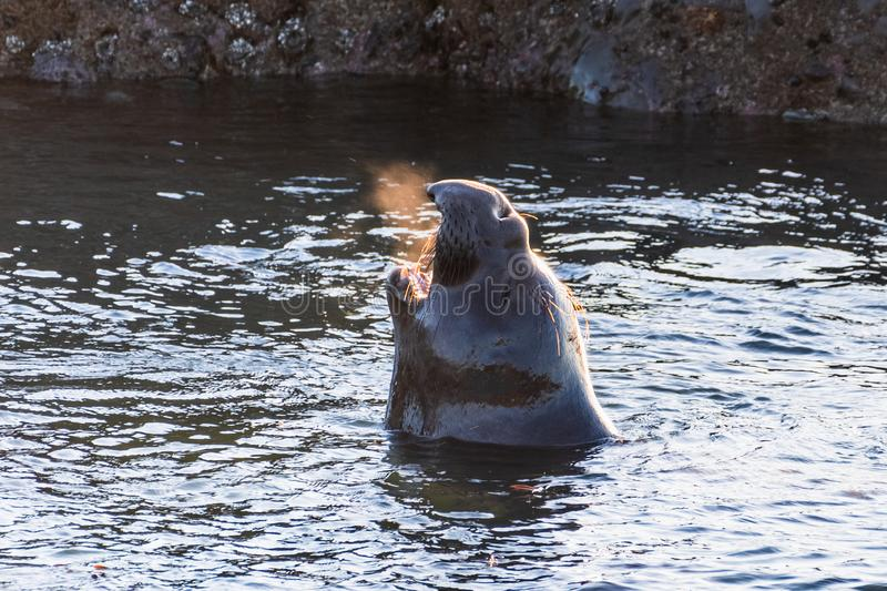 Northern elephant seal male vocalizing while standing in shallow water; visible hot air coming out of his mouth, Pacific Ocean royalty free stock photos