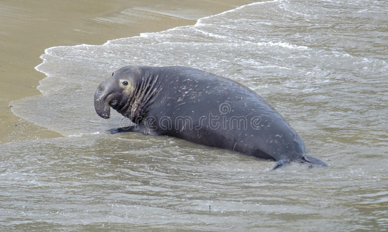 Northern Elephant Seal (Mirounga angustirostris) royalty free stock photography