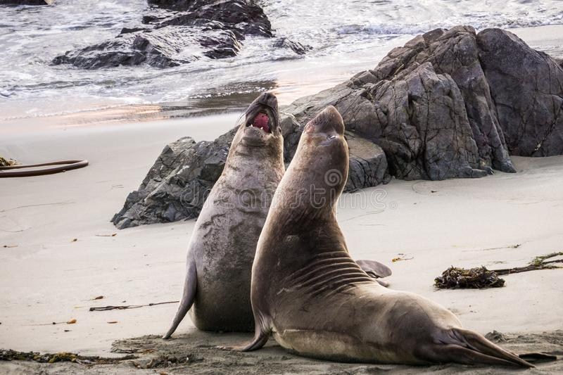 Northern elephant seals fighting during mating season on a beach near San Simeon, California royalty free stock images