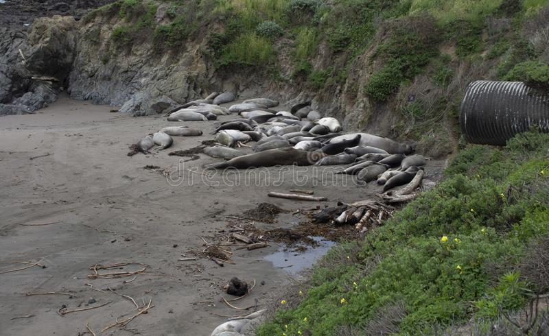Northern elephant seals rest at the Piedras Blancas elephant seal rookery stock photography