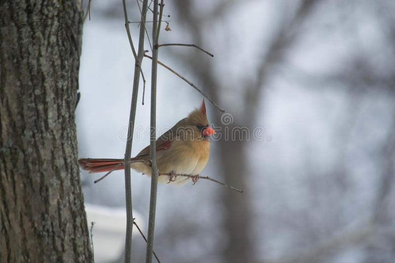 Northern Female Cardinal on a cold snowy day. A Female Cardinal perched on a tiny twig with a speck on snow on its orange beak. A cold snowy winter background is royalty free stock photos
