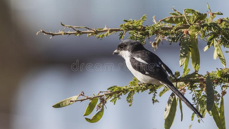 Northern Fiscal on Green Tree Branch. Northern Fiscal, Lanius humeralis, is looking around perching on a tree branch in Chancho, Oromia, Ethiopia, Africa royalty free stock image