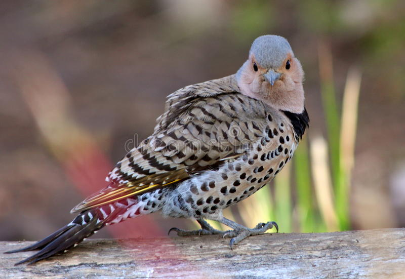 Download Northern flicker stock photo. Image of wary, female, avian - 13973130