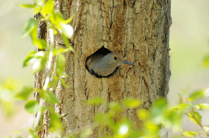 Download Northern Flicker stock photo. Image of trunk, animal - 23079910