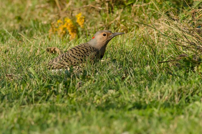 Download Northern Flicker - Colaptes Auratus Stock Image - Image of conservation, park: 120637075