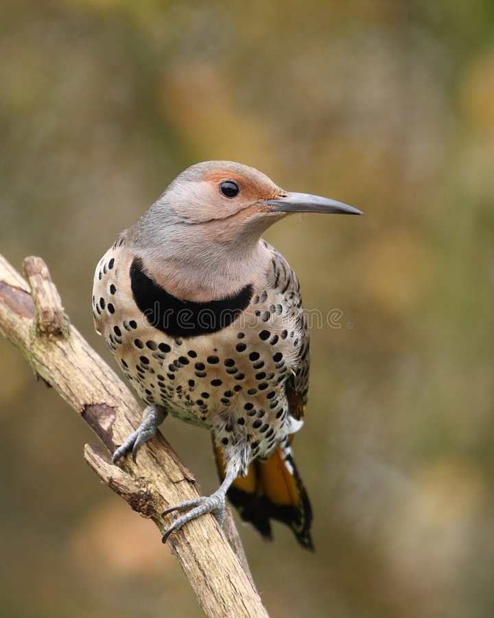 Northern Flicker female stock image