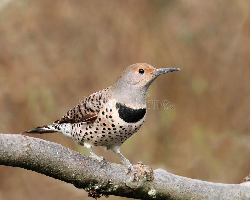 Northern Flicker female royalty free stock photos