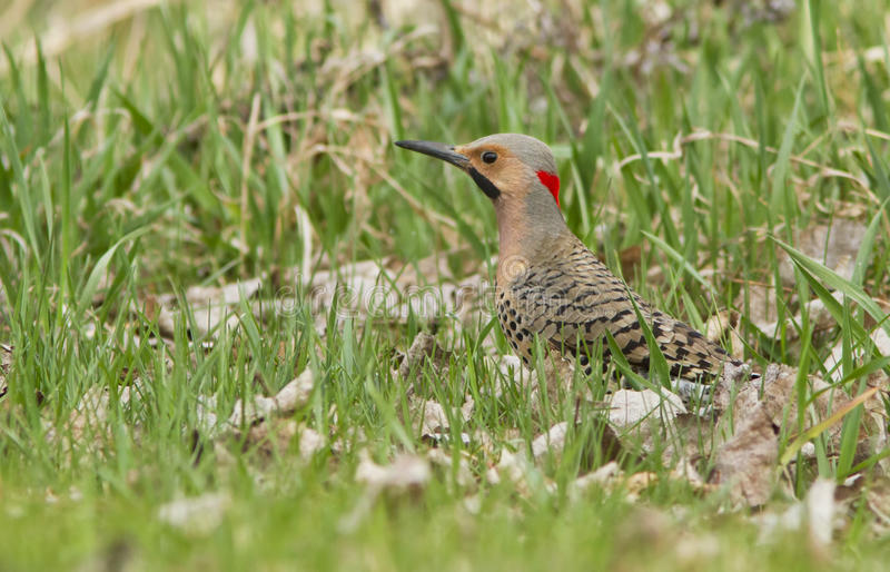 Download Northern Flicker male stock photo. Image of patch, wary - 24364152