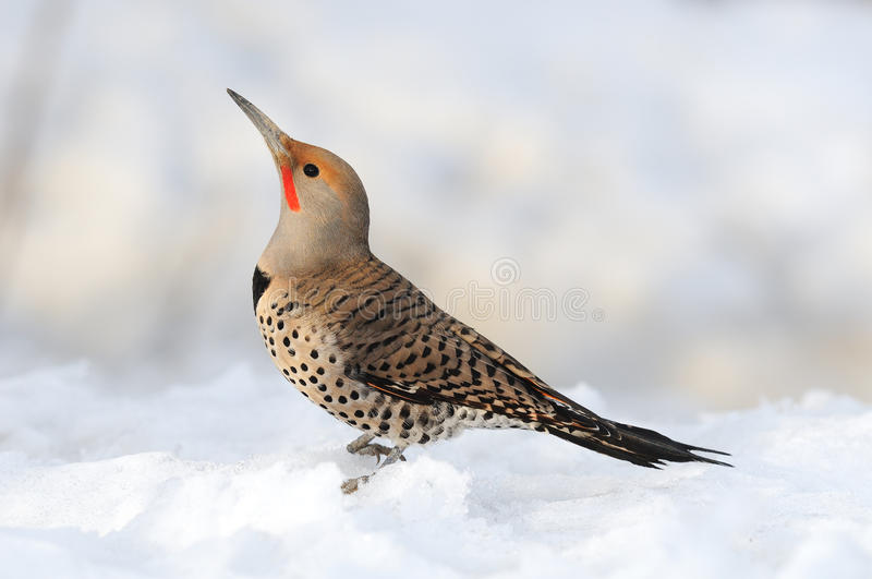 Northern Flicker In The Snow Royalty Free Stock Images