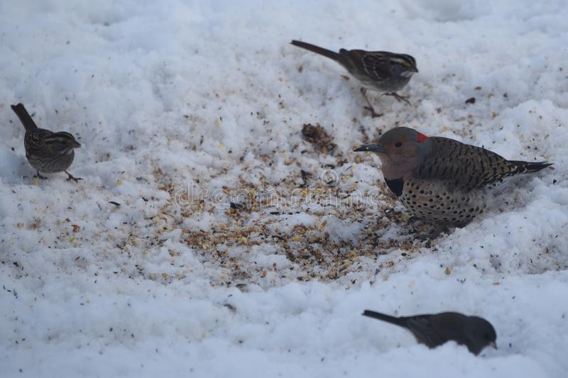 Northern Flicker Woodpecker and Friends royalty free stock photos