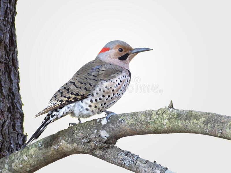 Northern flicker woodpecker perched on a branch royalty free stock photos