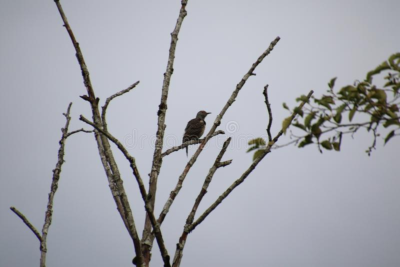 A northern flicker woodpecker sitting on a tree branch. With some leaves on the end.  The background is grey sky, bird, blue, branches, environment, natural stock photography