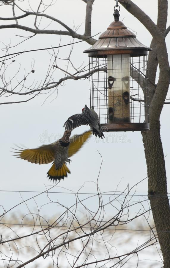 Northern Flicker Woodpeckers stock image