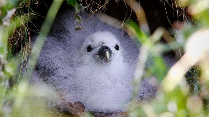 Northern fulmar chick in its nest royalty free stock photos