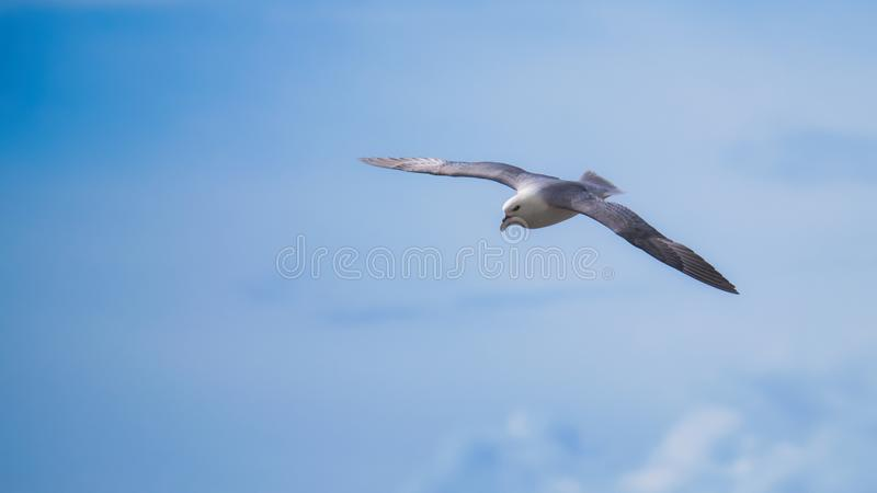 Northern fulmar on the wing. Northern fulmar flying with upper wings and plumage showing in soft sunshine royalty free stock photo