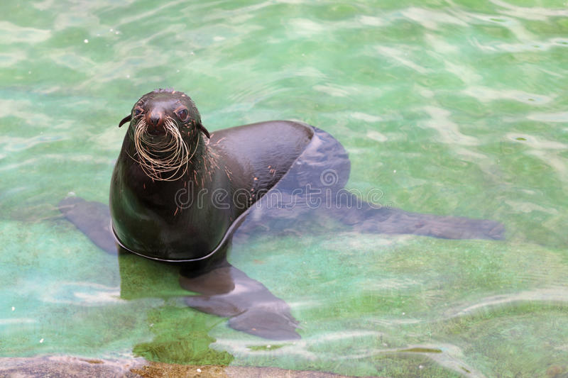Northern fur seal stock image