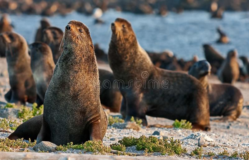 Northern fur seal Callorhinus ursinus is an eared seal found along the north Pacific Ocean, the Bering Sea stock image