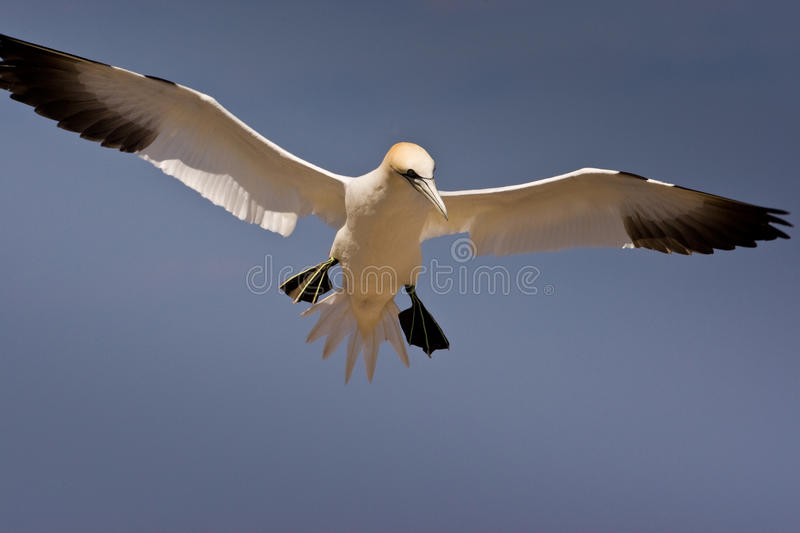 Northern Gannet. With Wings Spread Hovering in Flight stock photos