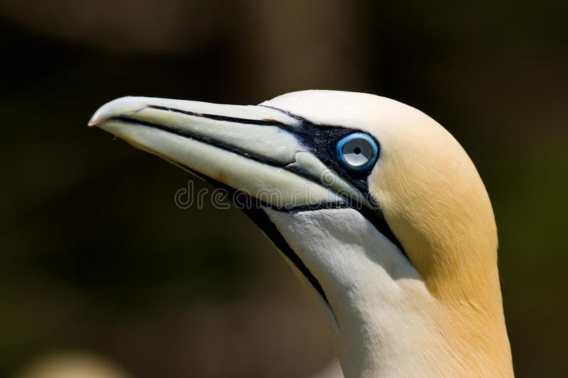 Northern Gannet. Closeup Portrait Illustrating Facial Markings of Northern Gannet stock image