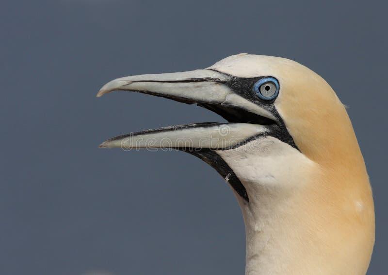 Download The Northern Gannet stock photo. Image of flies, gaspesie - 10831092
