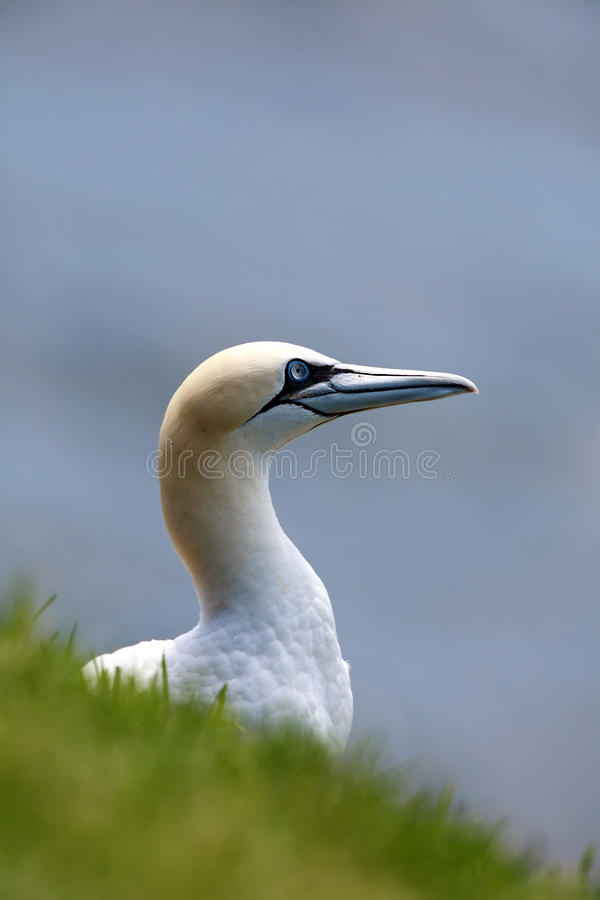Northern Gannet. Closeup of a Northern Gannet in Newfoundland, Canada stock image