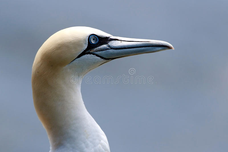 Download Northern Gannet Royalty Free Stock Photo - Image: 16697615
