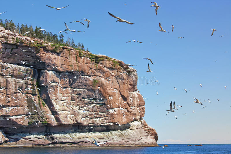 Northern Gannet. (Morus bassanus) breeding colony is a protected environment on Bonaventure Island, Gaspe,Quebec, Canada stock photos