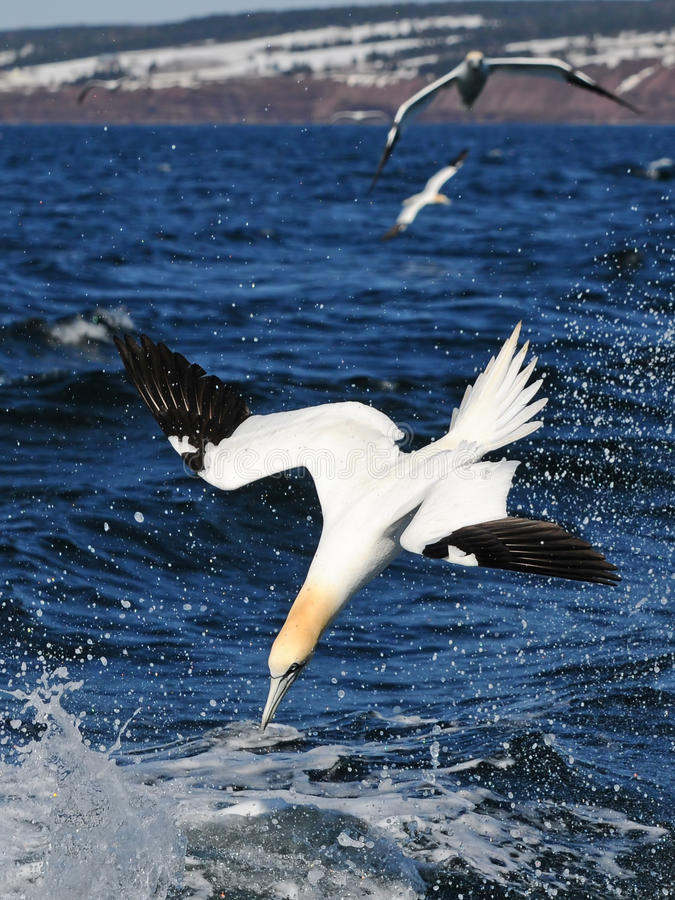 Northern Gannet bird over sea. Northern gannet bird flying over sea and diving for fish stock image