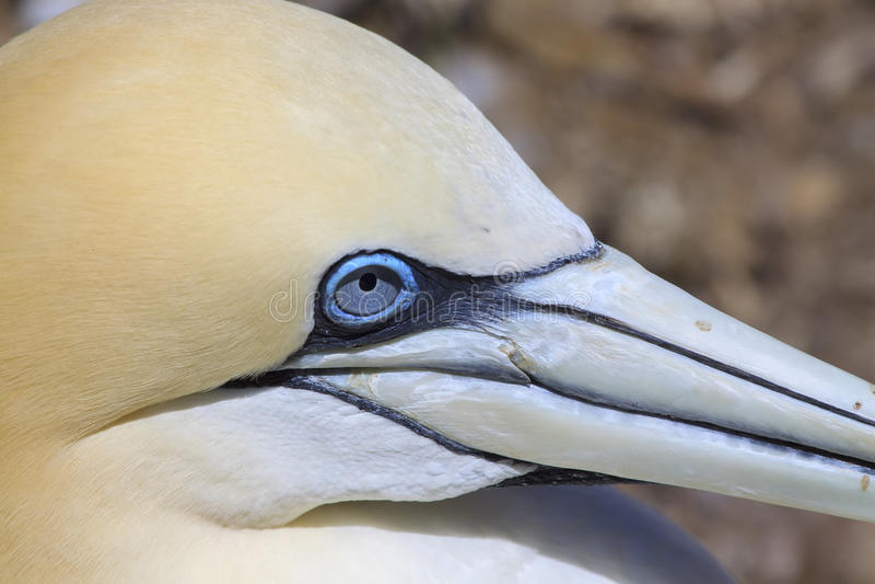 Northern Gannet on Bonaventure Island royalty free stock image